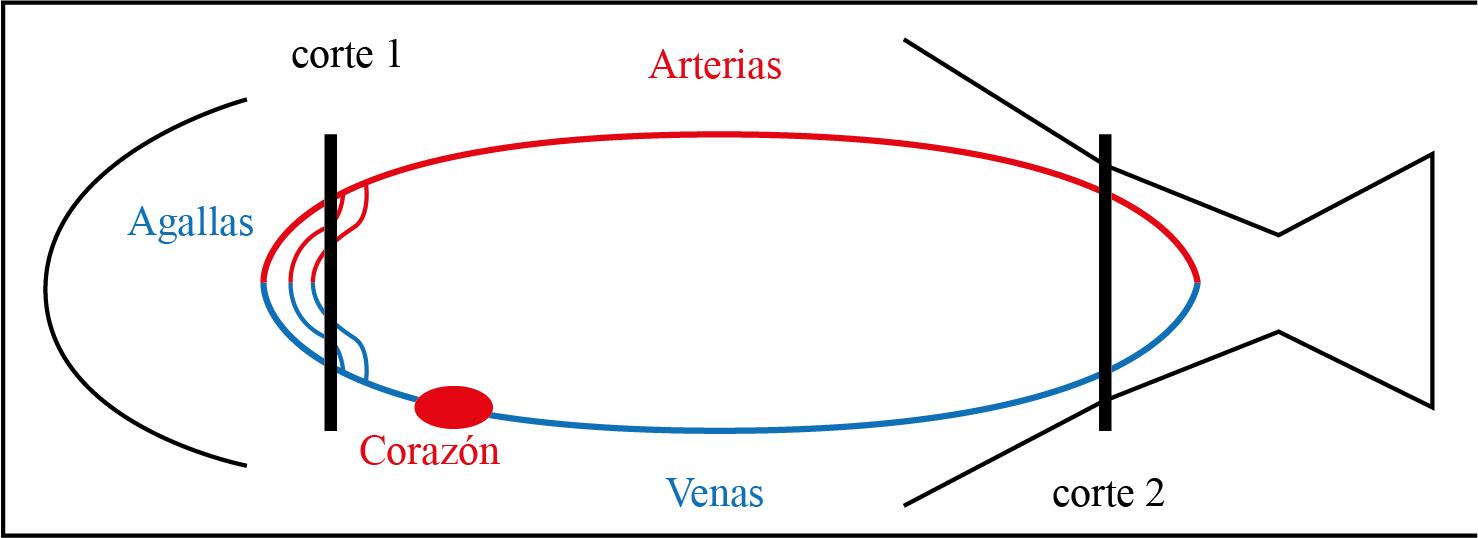 Sistema circulatorio del pez