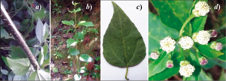 a) Lenticelas, b) filotaxia, c) hoja y d) inflorescencia de S. scandens