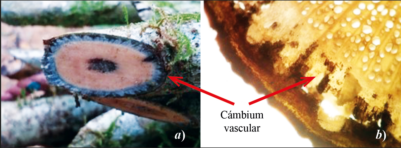 Cámbium vascular de S. scandens