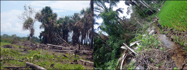 Destrucción de aguajales en el Valle del Alto Mayo por cambio de uso de suelo para cultivo de arroz